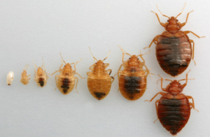bed bugs pictures of life stages